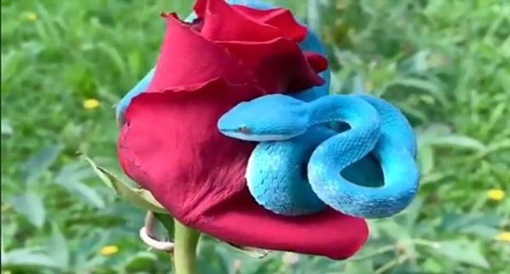 গোলাপ গাছে ভয়ঙ্কর সুন্দর নীল সাপ!
