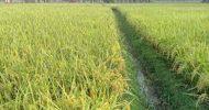 জগন্নাথপুরে বোরোর বাম্পার ফলন
